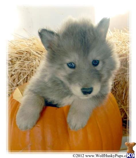 wolf puppies for sale wolf husky pups picture 1 animals that i