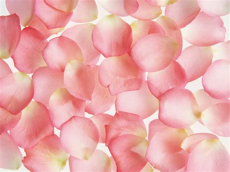 Pink Petals Pink Petal Picture X Free Images At Clker