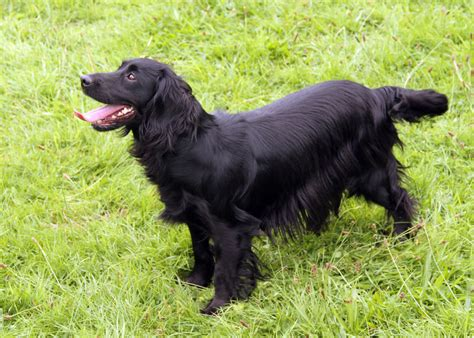Clumsetter Gundogs - Working Cocker Spaniel Puppies and ...
