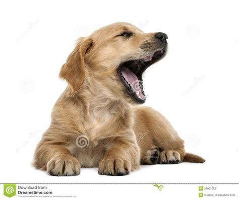 7 week golden retriever puppy golden retriever puppy 7 weeks lying stock photography image 27901082