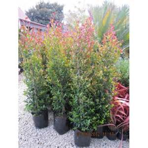 Bronze Foliage Plants - eugenia ventenati syzygium
