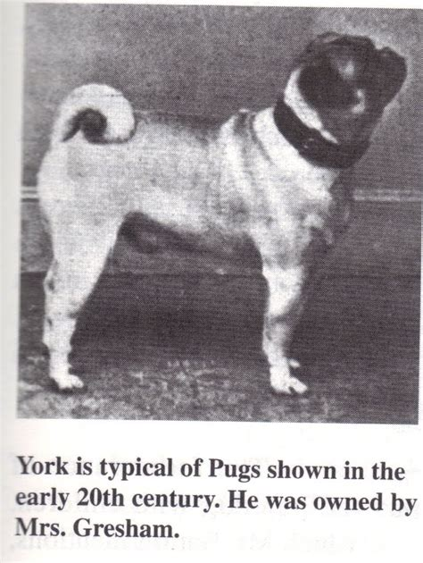 the history of pugs vintage photographs and pug on