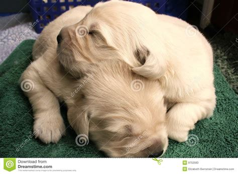 puppies snuggling snuggling puppies stock photos image 9752583