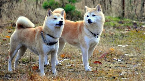 Shiba Inu Also Search For Meet The Breed Shiba Inu