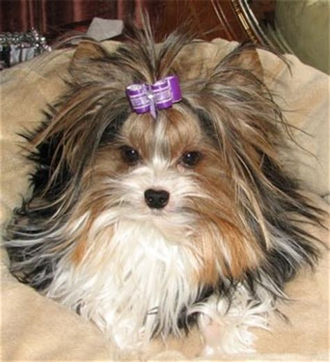 Yorkie Shedding by Next No Shedding With Yorkie S She Is A Special Breed A Biewer Terrier Yorkies Rule