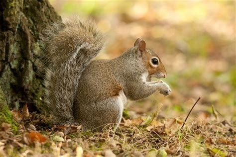 the shocking truth behind grey squirrels
