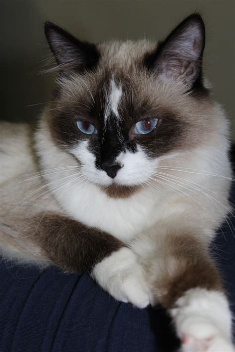 snowshoe images 17 best images about i snowshoe cats on