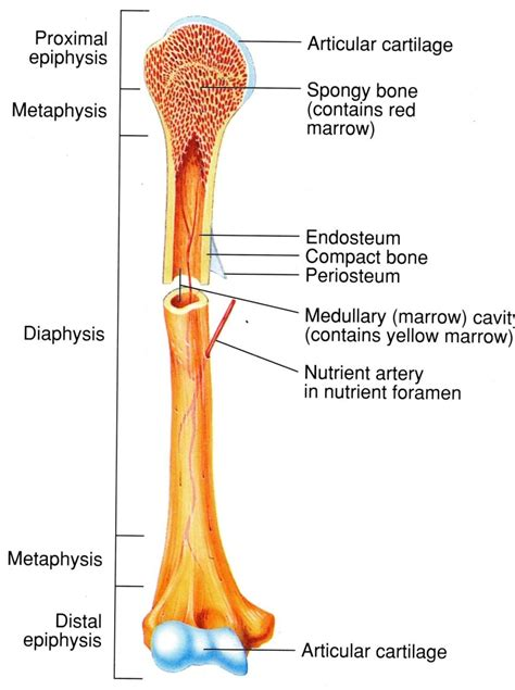 middle section of a long bone antphy 2401 study guide 2012 13 sarawise instructor