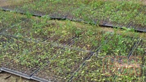 Tray Semai Padi petani way lubuk manfaatkan cocopeat sebagai media semai