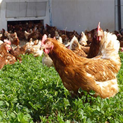 alimentazione naturale galline ovaiole lo spazio per le galline ovaiole cucina naturale