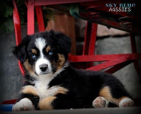 australian shepherd puppies for sale pa 25 b 228 sta aussie puppies for sale id 233 erna p 229 mini aussie mini