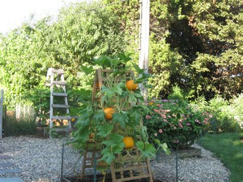 Growing Pumpkins On A Trellis pin by chris christin on porch patio garden