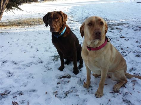dogs detect cancer langdon dogs to sniff out cancer the chestermere anchor weekly