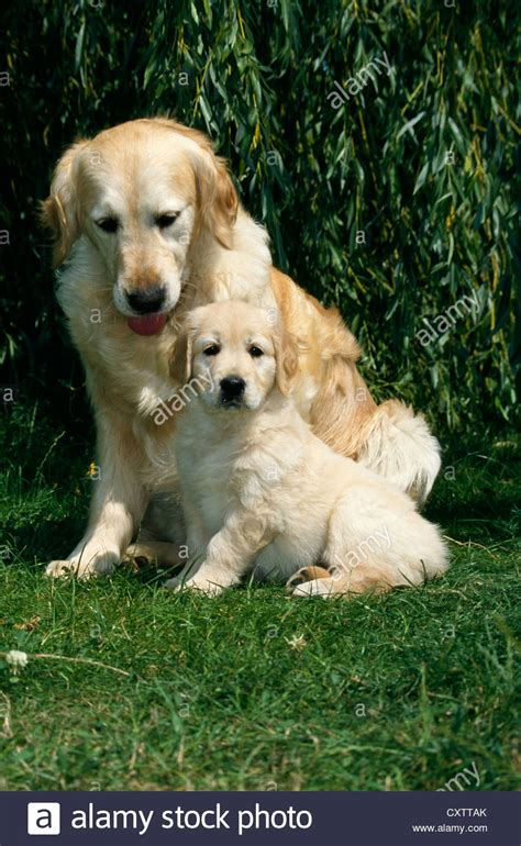 golden retriever wyoming golden retriever puppy to adulthood dogs in our photo