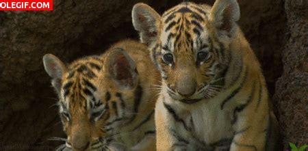 imagenes tumblr de tigres gif mira a estos lindos cachorros de tigre gif 6505