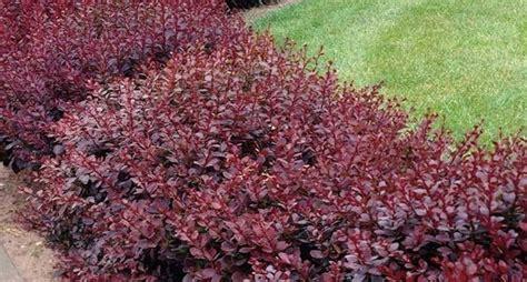 piante da vaso sempreverdi piante per siepi sempreverdi siepi caratteristiche