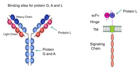 protein l resin versatile purkine protein l resin 4ff abbkine