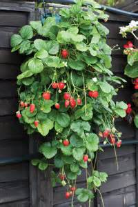 how to grow strawberries vertically bees and roses