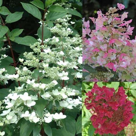 hortensie wims hydrangea paniculata wim s gardening impulse