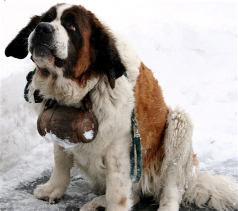 how much are st bernard puppies 1000 images about st bernard on bernards st bernards and st