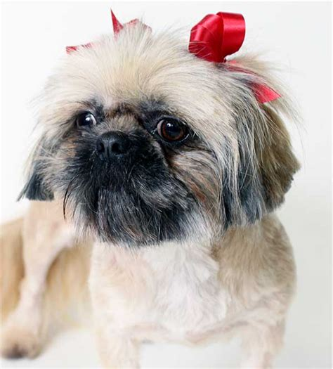 hypoallergenic dogs shih tzu 13 hypoallergenic breeds