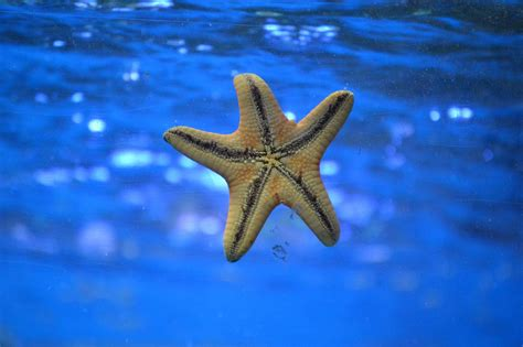 starfish images starfish are coming back after wasting killed
