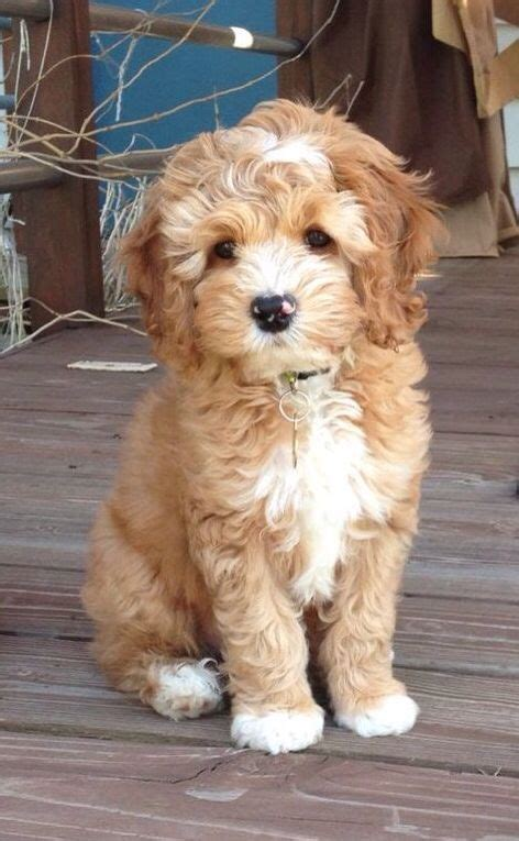 mini goldendoodle 25 best mini goldendoodle ideas on doodle