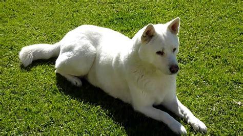 jindo puppies korean white jindo guarding posture hd