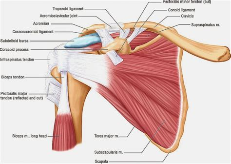 diagram of back muscles back and shoulder muscles anatomy human anatomy diagram