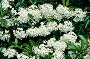 shrub with small white flower clusters pyracantha rogersianap rogersiana is a large vigorous