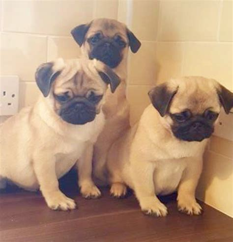 pug puppies available fawn pug puppies available wolverhton west midlands pets4homes