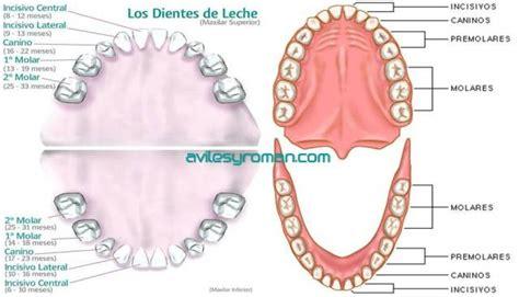 imagenes dientes temporales diferencias entre dientes de leche y dientes permanentes