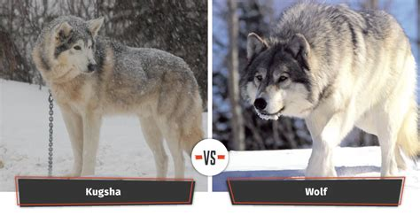 kugsha puppies dogs that look like wolves 22 dogs that a lupine look