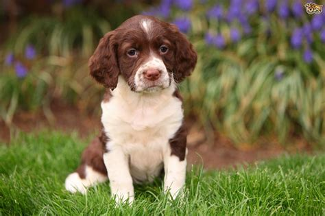 spaniel puppy springer spaniel puppies fotolip rich image and wallpaper