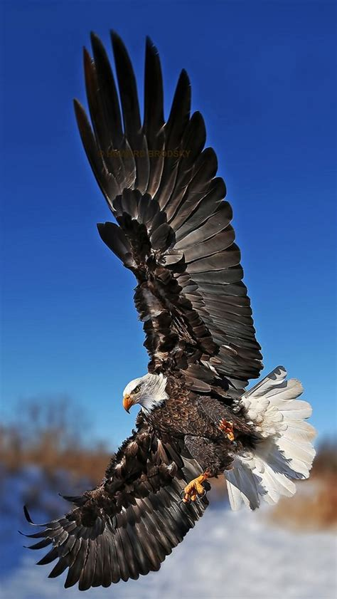 wallpaper iphone eagle eagle bird collection of wild life animals wallpapers for