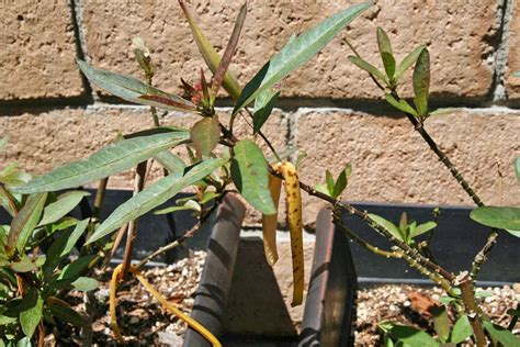 plants that repel aphids how to aphids on milkweed plants monarch butterfly