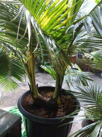 membuat bonsai kelapa ragam tanaman