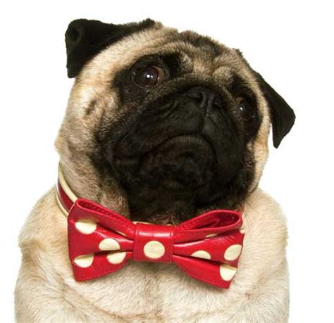 collars for pugs beau bellesbow collars for pug boys girlsprices from 86 96