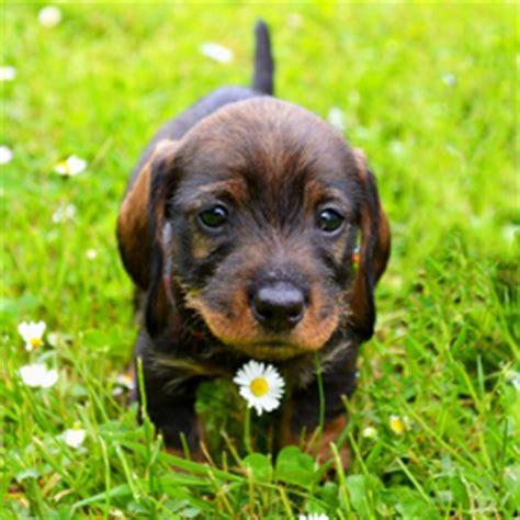 new puppy care complete new puppy checklist