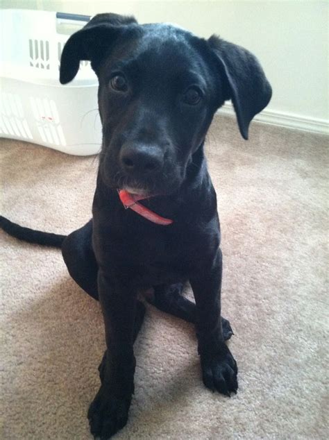 black lab mix puppies 14 best images about black lab great dane mix on horns lakes and animal
