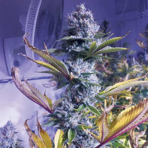 high times seed bank hall  fame high times