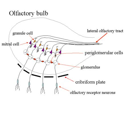 olfactory pathway diagram olfactory diagram 28 images image gallery olfaction