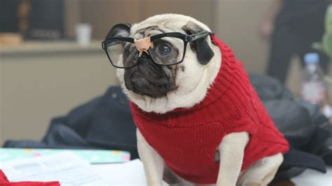 living with a pug pugs the pug channel