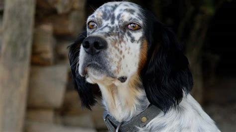 english setter dog food what are the ingredients in dog food