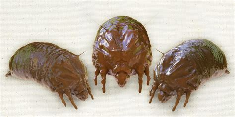 book mites pictures bed bug treatment how to deal with an infestation