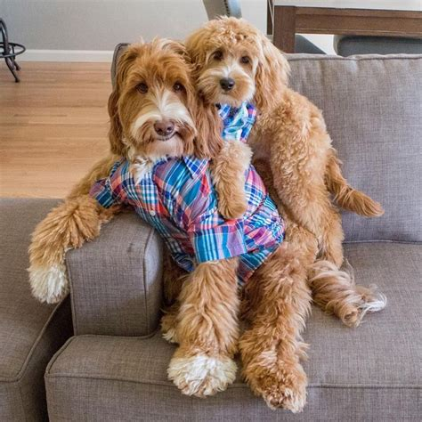 doodle puppy finder 25 best ideas about australian labradoodle on