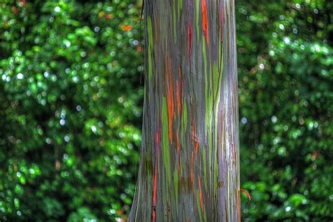 rainbow trees rainbow eucalyptus the most colorful tree on earth