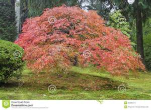 old japanese maple tree in autumn stock images image