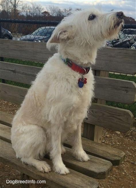 australian shepherd shih tzu mix standard auss tzu breed information and pictures
