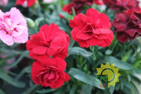 fiore garofano garofano casanatura vivaio